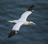 Gannet in flight - 155132246