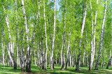 Birch grove in the forest