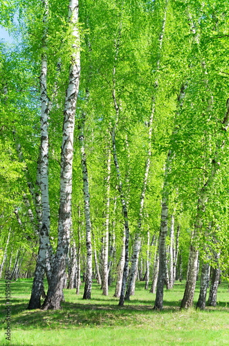 Fotobehang Berkenbos Birch grove, bright green leaves in summer