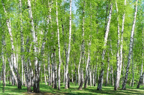 Fotobehang Berkenbos Birch grove in the forest