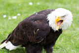 Portrait of a bald eagle on grass.