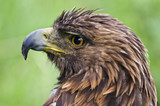 Closeup of a rescued golden eagle in captivity