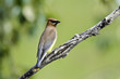 Cedar Waxwing perched on a branch, with blurred green foliage background