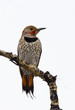 Male Northern Flicker perched on a branch