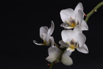White orchid flowers on black background close up.