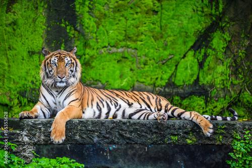 Canvas Tijger Bengal tiger
