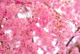 日本のシダレザクラ