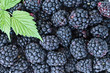 Full frame background of juicy raw blackberry fruit with leaves.