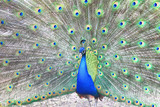 Proud blue peacock showing beautiful feathers / peacock spreading its tail / peacock portrait / beautiful multicolored peacock