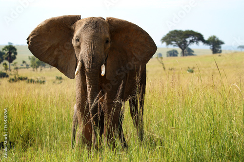 Elephant facing camera Poster