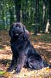 wonderful portrait of Newfoundland dog in the forest