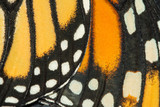 Closeup of Monarch butterfly wings