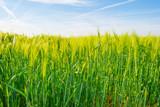 Green wheat field in spring in sunlight