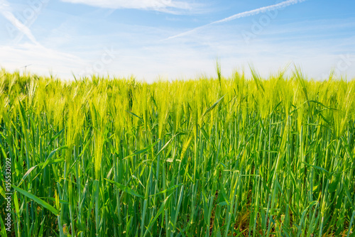 Green wheat field in spring in sunlight