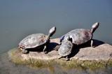 Schildkröten im Central Park