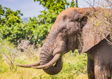 African Savannah Elephant at the Kruger National Park, South Africa