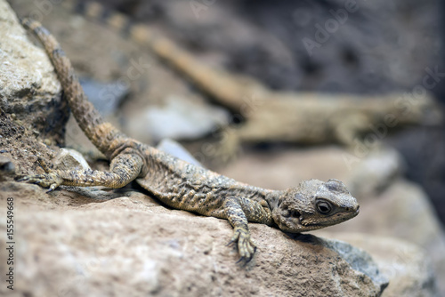 Beautiful Painted Dragon reptile Stellagama Stellio Brachydactyla on rock Poster