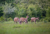 Group of hinds on meadow