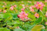 Pink Lotus flower and Lotus flower plants