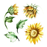 Set of sunflower. Hand draw watercolor illustration - 155629056