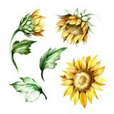 Set of sunflower. Hand draw watercolor illustration - 155629056