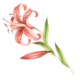 Image Tiger lily flowers. Hand draw watercolor illustration - 155629077