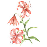 Image Tiger lily flowers. Hand draw watercolor illustration - 155629292