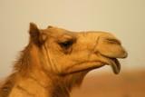 Kamelkopf