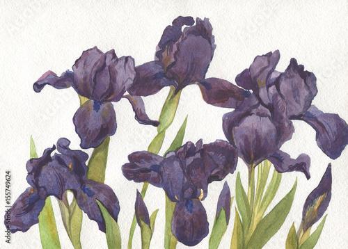 Purple iris flowers, watercolor painting. Botanical illustration - 155749624