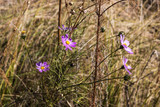 Wild Natural Cosmos Blossoms Against Orange Grass Background