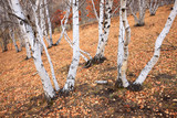 The autumn birch trees and leaves