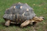 Radiated tortoise (Astrochelys radiata).