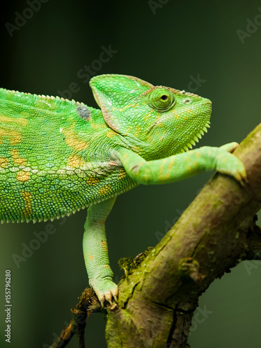 chameleon on a branch portrait closeup Poster