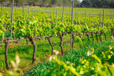 Vineyards are sunny in the spring seaso