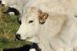 mucca razza romagnola