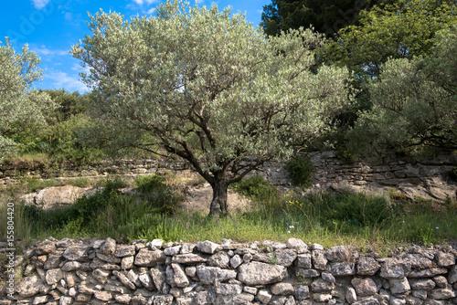 Olivenbaum in der Provence Poster