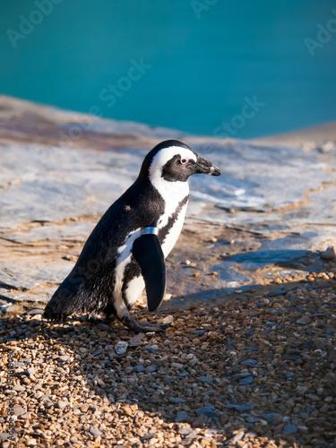 Plakát a penguin walking on stones portrait, closeup