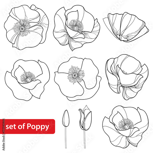 Vector set with outline Poppy flower, bud and open flowers isolated on white background. Floral elements in contour style with poppy for summer design and coloring book. Symbol of Remembrance Day.