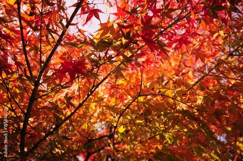 In de dag Oranje eclat 日本庭園の紅葉と空