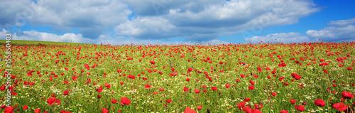 Wild poppy flowers on blue sky background.