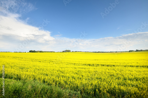 Beautiful lush yellow blossoming agricultural field in Latvia countryside on a summer day