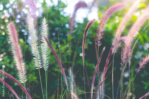 Fototapeta Beautiful flower grass in the garden. Beautiful summer with flower grass in sunshine day