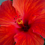Close-up of beautiful blood-red hibiscus bloom with yellow pollen covering its stamen. - 155912887