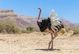 Male of African ostrich (Struthio camelus) in nature reserve near Eilat, Israel - 155923860
