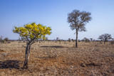 Drought landscape with wild flowers shrub in Kruger national park, South Africa