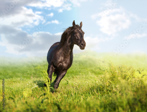 Black horse runs on a green field on clouds background Poster