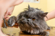 Persian cat sheared in the beauty salon
