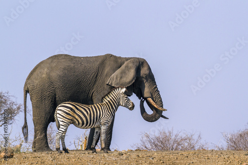 Poster Plains zebra and African bush elephant in Kruger National park, South Africa