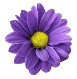 Purple gerbera flower. White isolated background with clipping path. Closeup. no shadows. For design. Nature.