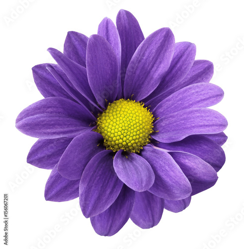 Staande foto Snoeien Purple gerbera flower. White isolated background with clipping path. Closeup. no shadows. For design. Nature.